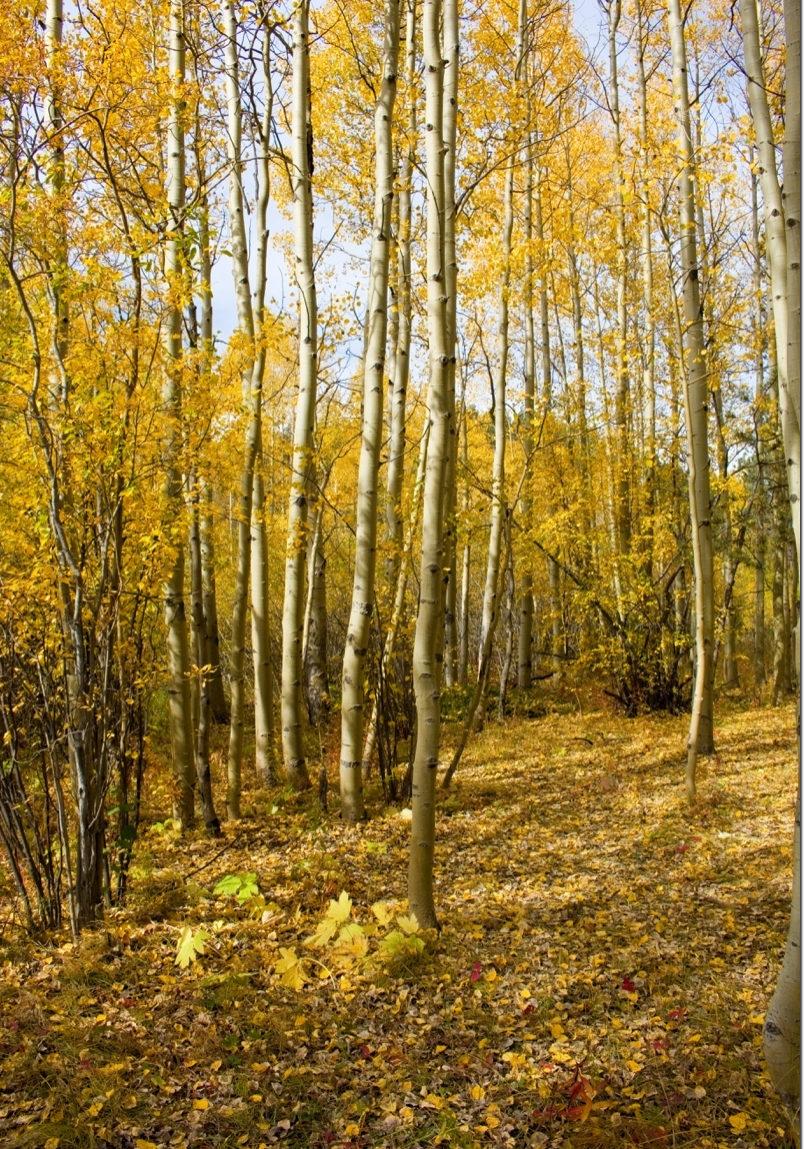 Autumn-Aspen-on-Pikes-Peak-Colorado-Web